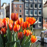 Tulp Festival Amsterdal April 2015